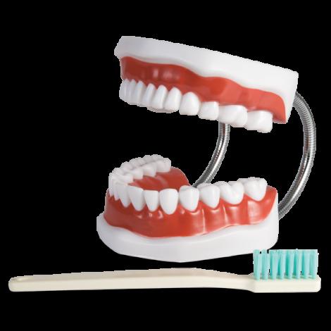 """Brush-n-Floss """"Plus"""" Full Mouth Demonstrating/Training Model X-Large (Hager)"""