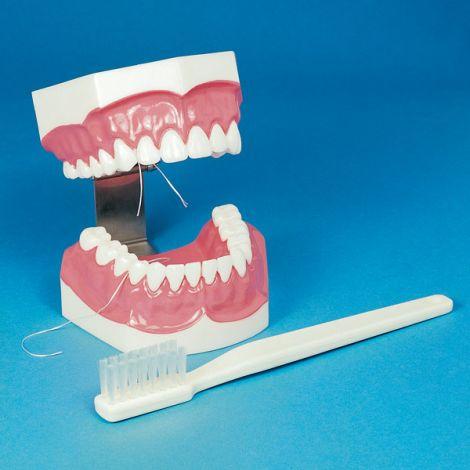 Brush-n-Floss Full Mouth Demonstrating/Training Model (Hager)
